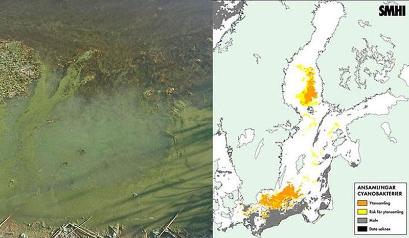 Fortsatta algblomningar i länet