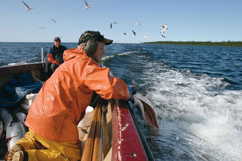 Kustfiskaren - en utrotningshotad art?