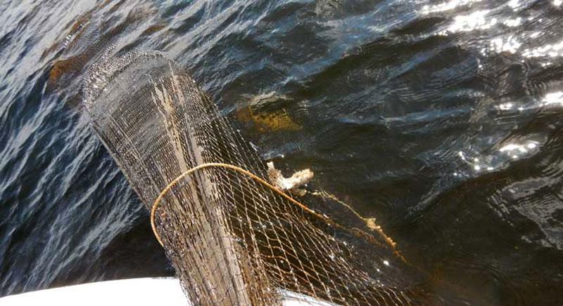 En ryssja med död och ruttnande fisk tas upp för beslag och destruktion. Foto: Länsstyrelsen
