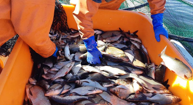 Dispens för forskningsprojekt att fiska braxen, mört och id med specialredskap och kamera